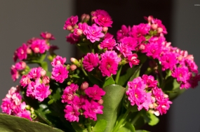 pink-kalanchoe-in-the-soft-sunlight-50266-1920x1200