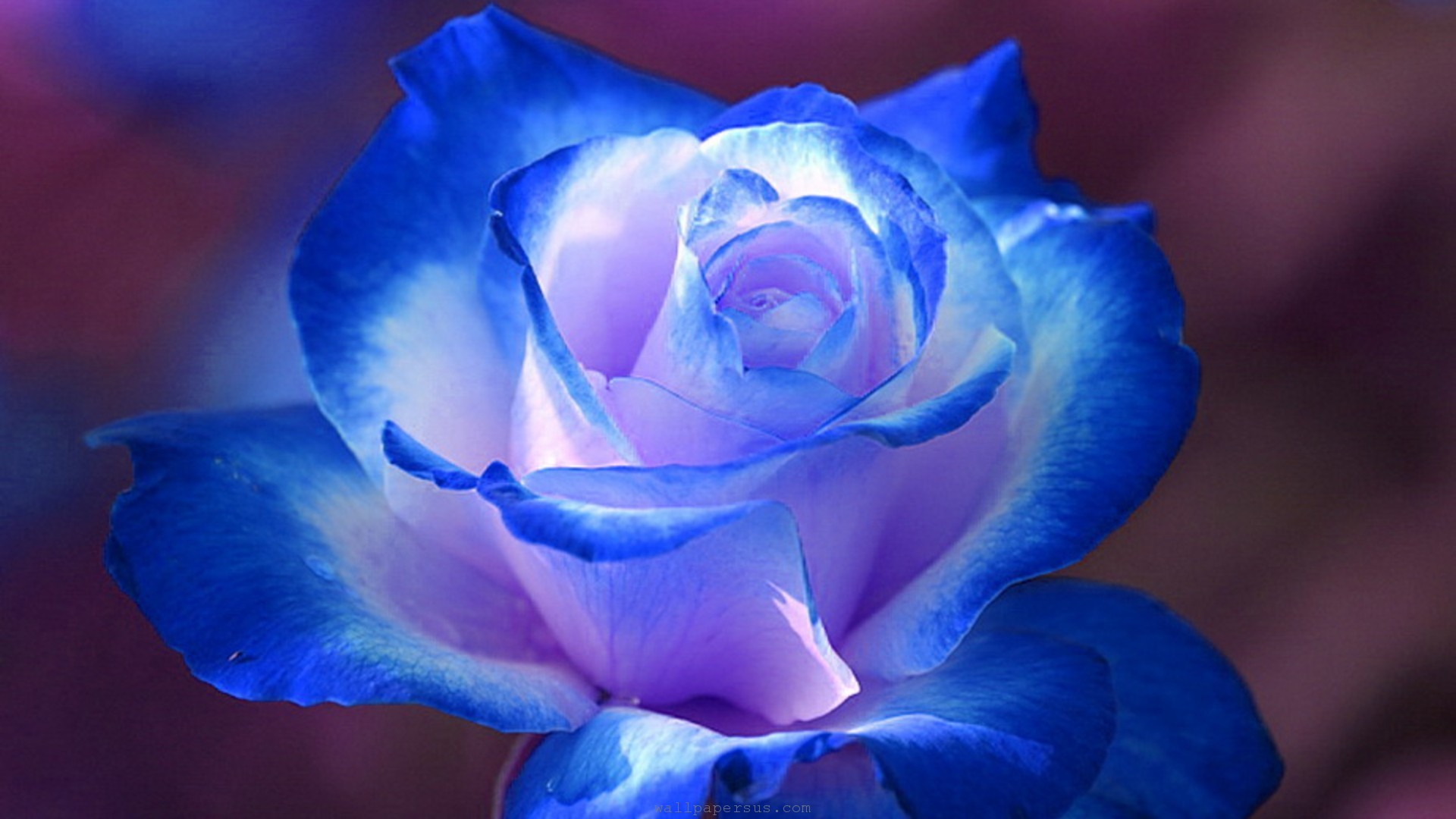 Use of Rose Flower - What is The Use of Rose Flower in Medicine.